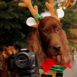 The new photographer on the block by Ken Jarvis - Animals - Dogs Portraits ( irish setter, christmas, dog portrait, irish, dog )