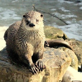 Otter Portrait by Cynthia Magliocco - Animals Other Mammals ( outdoor )