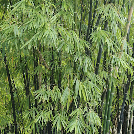 Bamboo Tree by Koh Chip Whye - Nature Up Close Trees & Bushes (  )