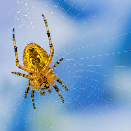 Spider 8106 by Carl Albro - Animals Insects & Spiders ( spider )