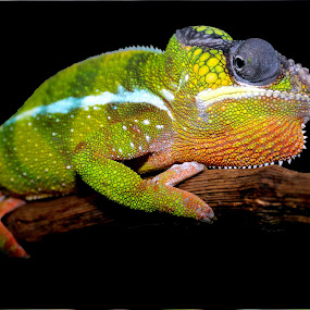 Panther Chameleon by Ralph Harvey - Animals Reptiles ( wildlife, ralph harvey, reptile, chameleon, marwell zoo )