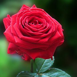 by Ad Spruijt - Flowers Single Flower