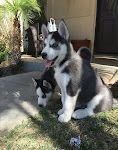 Adopt Your Blue Eyed Siberian Husky Puppy Now Ready, Blue Eyed Husky Pups