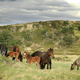 Wild Patagonia horses by Tadas Jucys - Landscapes Prairies, Meadows & Fields ( argentina, wild, horses, patagonia, herd, cube, travel )