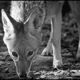 Jackal by Dave Lipchen - Black & White Animals ( jackal )