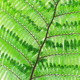 Australian Tree fern (Cyathea cooperi) by Briand Sanderson - Nature Up Close Trees & Bushes ( washington state, australian tree fern, australian, tree fern, united states, cyathea cooperi, volunteer park conservatory )