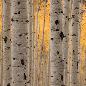 Fall Aspen by Tom Cuccio - Nature Up Close Trees & Bushes