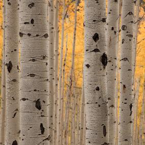 Fall Aspen by Tom Cuccio - Nature Up Close Trees & Bushes