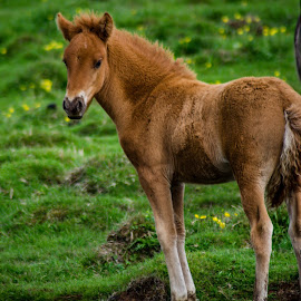 Icelandic Horse by Philip Rugel - Animals Horses