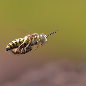 22416 by Just Arief - Animals Insects & Spiders ( macro, wasp, insect, natural, photography, animal )