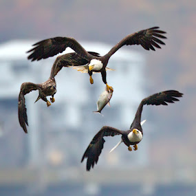 by Herb Houghton - Animals Birds ( wild, eagle, bird of prey, bald eagle, raptor, herbhoughton.com, non captive )