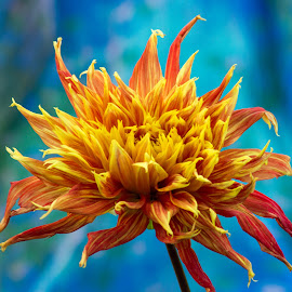 dahlia red yellow beauty by Kathy Eder - Flowers Single Flower ( red, sky, blue, beauty, dahlia, yellow, flower )