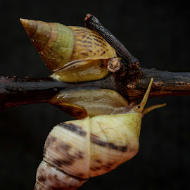 Mr and Mrs Snail by Jarot Prasetyo - Animals Other ( twin, macro, animals, macrophotography, nature, nature up close, nature close up, snail, natural, animal )