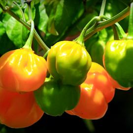 Scotch Bonnet Chili Pepper by Elfie Back - Nature Up Close Gardens & Produce (  )