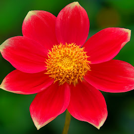Red Dahlia flower by Jim Downey - Flowers Single Flower ( red, gold, green, dahlia, flower )