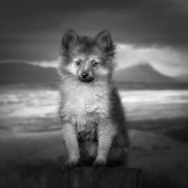 bonnie wee dug  by Michael  M Sweeney - Black & White Animals ( scotland, glencoe, black and white, nikkor, dog portrait, photography, highland, michaelmsweeneyphotography, noir, adventure, mountains, sky, awesome, nikondog, glenetive, pomerainan, bnw, nikon, west highland way, black, animal, clouds, wild, uk, animals, nikonshooter, editorial, white, web, nikon d, highlands, photo, portrait, wilderness, nikond800, doggy, goggle, naturallight, puppy, adorable, dog portraits, dog, pomeranian )