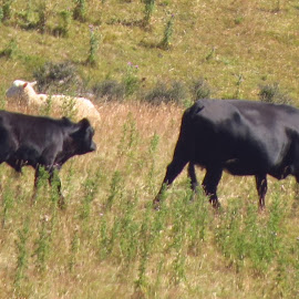 Mother and Son by Russell Benington - Animals Other Mammals ( farm, animals, calf, cow, nz, cattle )