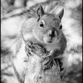 Red Squirrel by Dave Lipchen - Black & White Animals ( red squirrel )