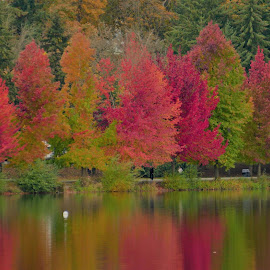 Fall Spectacle by Paul Fowles - City,  Street & Park  City Parks ( sweet gum, reflection, fall leaves, fall colors, park, trees, lake )