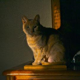 Mango_II by Rick King - Animals - Cats Portraits ( pet portrait, cats, pet photography, cat, pet, cat portrait, pets, feline, felines, animal )