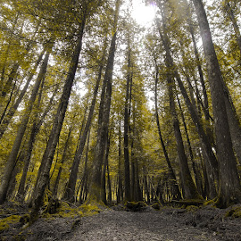 Silence by Jean-Philippe Lemieux - Landscapes Forests ( wilderness, nature, trees, forest, light, hike )
