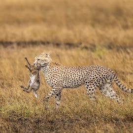 Cheetah with Kill by Hymakar V - Animals Lions, Tigers & Big Cats ( cheetah, amboseli, wildlife, kenya, africa, photography )