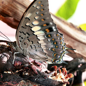 Butterfly  by Prakash Tantry - Animals Insects & Spiders ( nature, colorful, beautiful, smart, natural beauty,  )