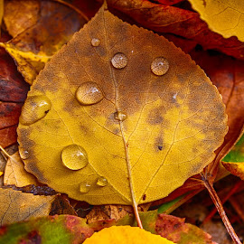 Fall N Water by Corey Yeatman - Nature Up Close Leaves & Grasses ( water, colors, dew, fall, leaf )