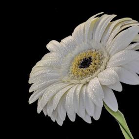 by Irena Gedgaudiene - Flowers Single Flower (  )