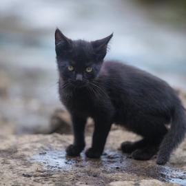 a black cutie by Annette Flottwell - Animals - Cats Kittens ( negro, gato, kitten, cat, gatita )
