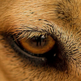 Sky's Eye Lashes by Bonnie Davidson - Digital Art Animals ( reflection, lashes, blonde, macro, pupil, pet, sky dog, beige, fur, brown, gold, black, outside, eye, animal )