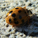 Multicolored Asian Lady Bug