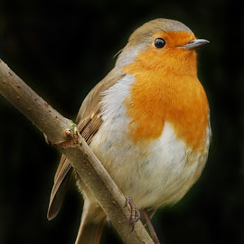 Robin Red Breast by Joanne Calderbank  - Animals Birds ( robin, red, eye catchlight, black back ground, branch )