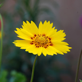 by Laxmikant Shah - Flowers Single Flower (  )