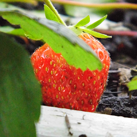 A Strawberry by Lorie  Carpenter  - Nature Up Close Gardens & Produce ( fruit, red, nature, green, white, strawberry, garden, produce )