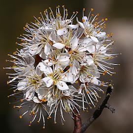 Ball of Blossom by Chrissie Barrow - Flowers Tree Blossoms ( orange, stamens, tree, petals, stigmas, white, flowers, bokeh, blossom )