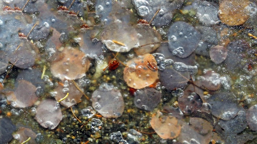 Fall's first ice by Marko Ginsberg - Nature Up Close Leaves & Grasses ( aspen leaves, ice, fall,  )