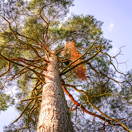 by Darrell Evans - Nature Up Close Trees & Bushes ( clouds, plant, conifer, spruce, wood, flora, green, needles, vegetation, leaves, trunk, sky, nature, outdoor, brown, pine )
