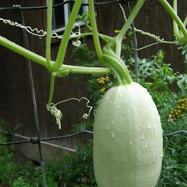 Spaghetti Squash with Dew by Rita Goebert - Nature Up Close Gardens & Produce ( spaghetti squash; garden produce; oval squash; pale green skin; summer; home gardening; new york state )
