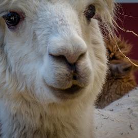 Llama portrait by Ruth Sano - Animals Other ( llama, portrait, closeup, animal )