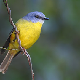Eastern Yellow Robin by Cathi Duck - Animals Birds ( blurred, yellow, twistedvine, bird photography, nationalpark )