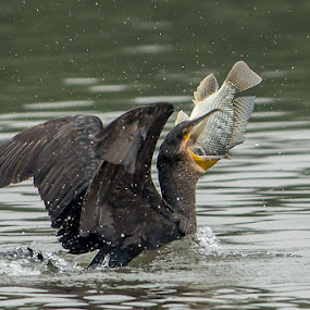 My favorite by Ken Cheung - Animals Birds ( great cormorant, cormorant, fish, catch )