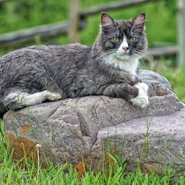 Boulder Break-Time by Twin Wranglers Baker - Animals - Cats Portraits (  )