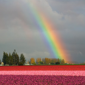 Rainbow over Tulip Fields by Kirsten Morse - Landscapes Weather ( farm, red, purple, colors, pink, rainbow, rain, fields )