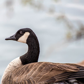 goose by Dustin Wilcox - Novices Only Wildlife ( injured, bokeh, goose )