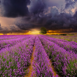Lavender Farm New Zealand by Anupam Hatui - Landscapes Prairies, Meadows & Fields ( farm, landscape, new zealand, lavenders, fields )