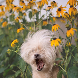 Scream, shout, and let it all out! by Ali Platt - Animals - Dogs Portraits ( funny, shih tzu, cute, dog, flowers, special needs )