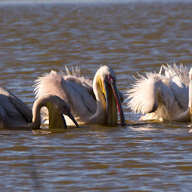 Fishing Raft by Graham Traas - Animals Birds ( wild bird, great white pelican, rietvlei, fishing, raft )