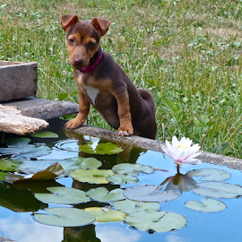 At the Pond by Laura Payne - Animals - Dogs Puppies ( reflection, jack, trough, reflexion, cute, girl, nature, rare, baby, pond, animal, water, pad, play, young, canine, lean, chocolate, stand, female, pet, peace, brown, puppy, dog, garden, reflect, tan, lilly, russell )