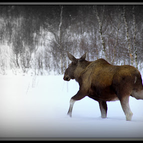 Moose by Benny Høynes - Animals Other ( winter, meat, moose, big, animal )